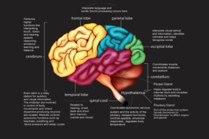 brain and functions